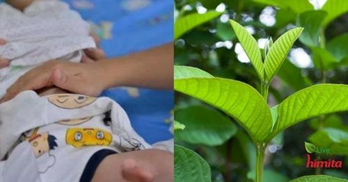 lá ổi chữa tiêu chảy cho trẻ sơ sinh